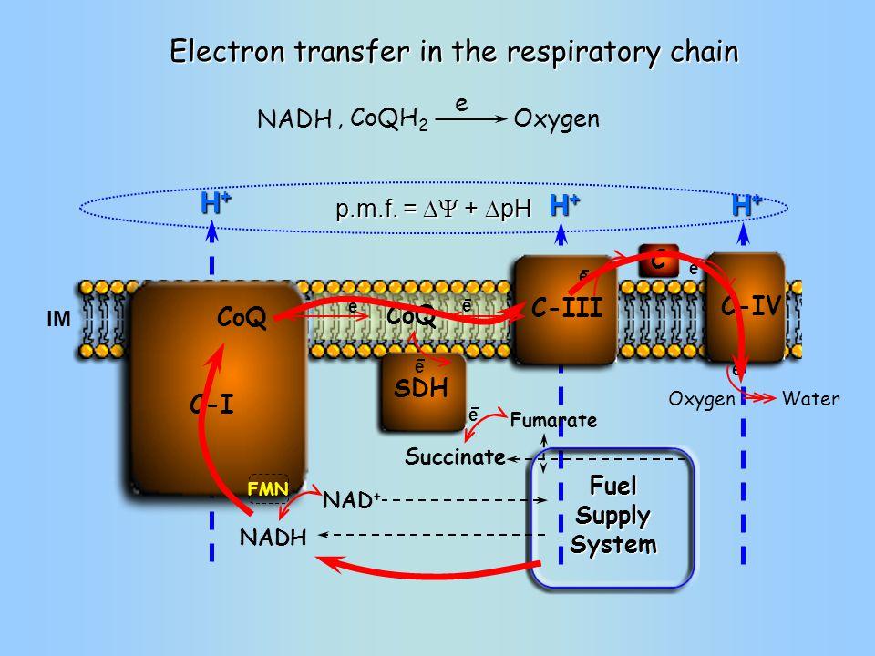 H+H+H+H+ H+H+H+H+ Oxygen C-III SDH C C-IV C-I FMN IM NADH NAD + Succinate Fumarate Water e e e e e e e CoQ Fuel Supply System Electron transfer in the respiratory chain NADH Oxygen, CoQH 2 e H+H+H+H+ p.m.f.