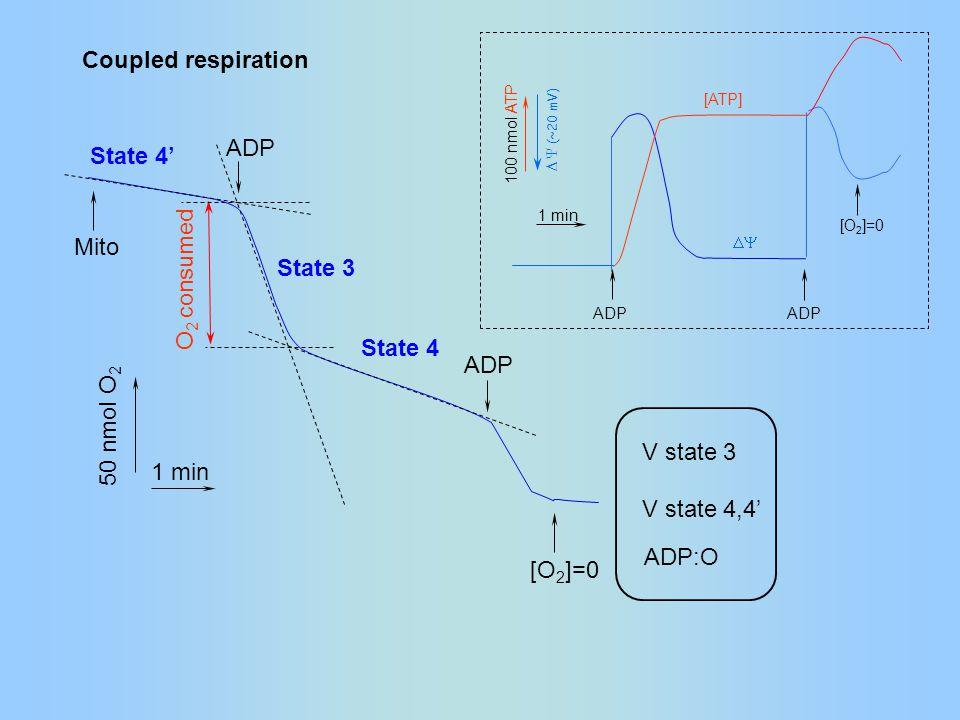 [O 2 ]=0 Coupled respiration ADP Mito O 2 consumed 50 nmol O 2 1 min State 4 State 4' State 3  ADP [O 2 ]=0 100 nmol ATP 1 min ADP [ATP]  (~20 mV) V state 3 V state 4,4' ADP:O