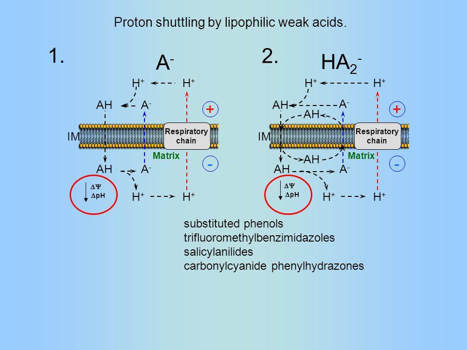 Respiratory chain H+H+ H+H+ AH A-A- A-A- H+H+ H+H+ IM Matrix A-A- AH Respiratory chain H+H+ H+H+ AH A-A- H+H+ H+H+ IM Matrix  pH  HA 2 - AH A-A- Proton shuttling by lipophilic weak acids.