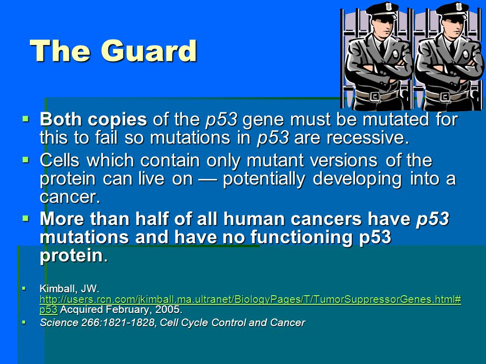 The Guard P53 tumor suppressor gene  The p53 protein senses DNA damage and can halt progression of the cell cycle in G1.  The p53 protein is also a