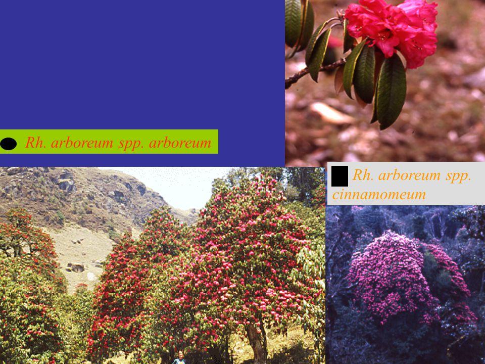 Rh. arboreum spp. arboreum Rh. arboreum spp. cinnamomeum