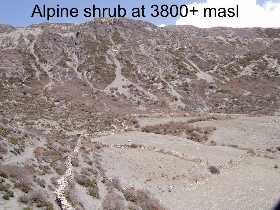 Alpine shrub at 3800+ masl