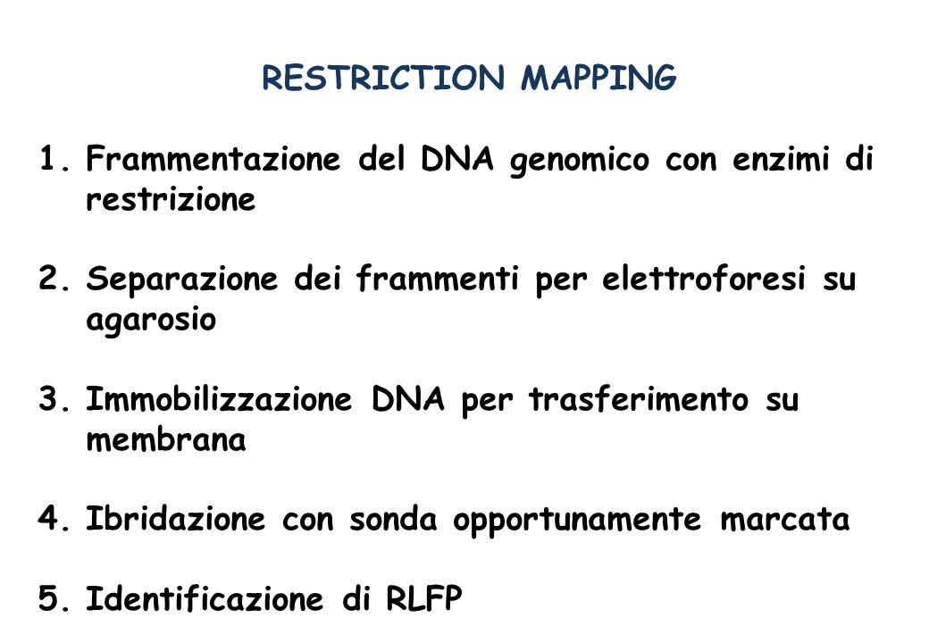 RESTRICTION MAPPING 1.Frammentazione del DNA genomico con enzimi di restrizione 2.Separazione dei frammenti per elettroforesi su agarosio 3.Immobilizzazione DNA per trasferimento su membrana 4.Ibridazione con sonda opportunamente marcata 5.Identificazione di RLFP
