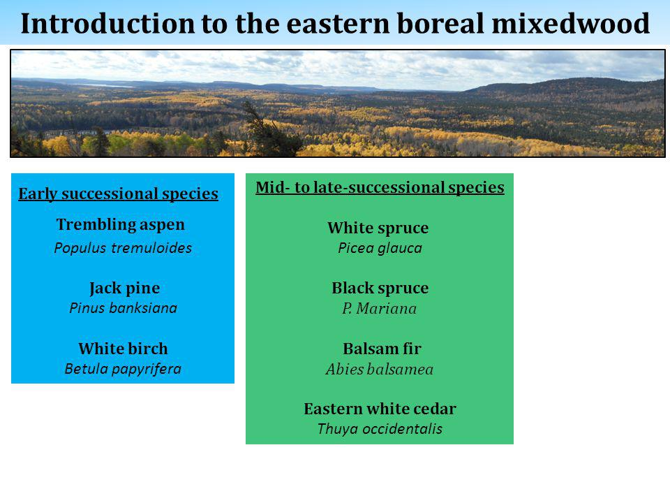 Introduction to the eastern boreal mixedwood Early successional species Trembling aspen Populus tremuloides Jack pine Pinus banksiana White birch Betula papyrifera Mid- to late-successional species White spruce Picea glauca Black spruce P.