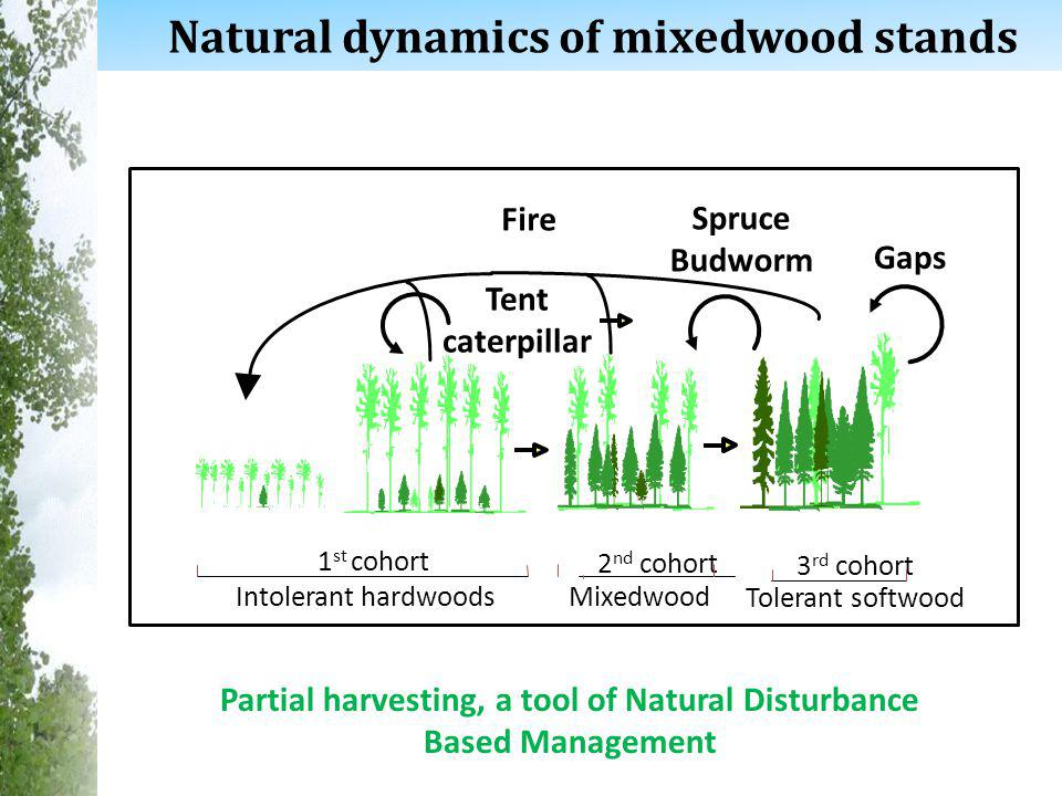 8 Tent caterpillar Spruce Budworm Natural dynamics of mixedwood stands Gaps Partial harvesting, a tool of Natural Disturbance Based Management