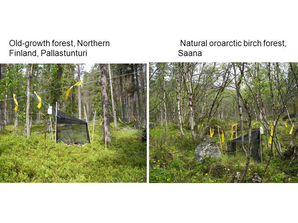 Old-growth forest, Northern Finland, Pallastunturi Natural oroarctic birch forest, Saana