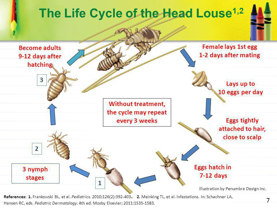 Female lives 3-4 weeks Lays up to 10 eggs per day Eggs tightly attached to hair, close to scalp Eggs hatch in 7-12 days Female lays 1st egg 1-2 days a