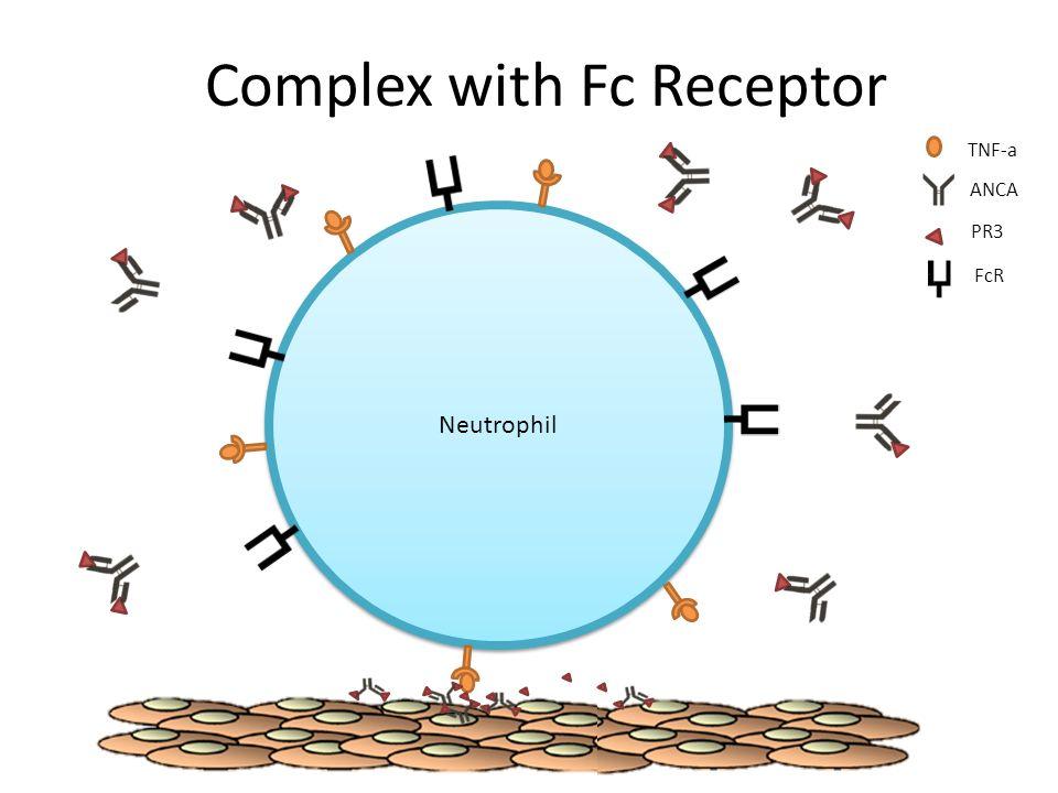 Complex with Fc Receptor Neutrophil TNF-a ANCA PR3 FcR