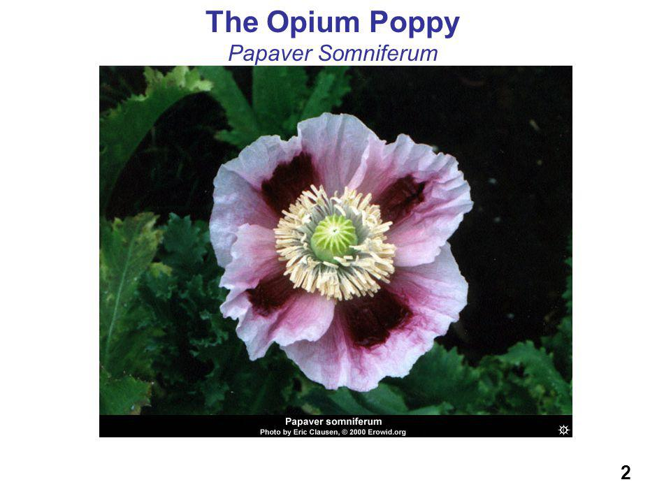 The Opium Poppy Papaver Somniferum 2