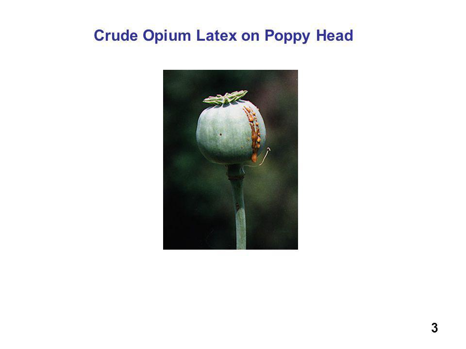 Crude Opium Latex on Poppy Head 3