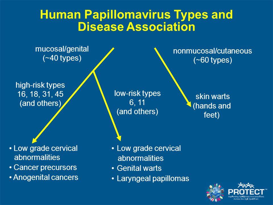 Human Papillomavirus Types and Disease Association nonmucosal/cutaneous (~60 types) skin warts (hands and feet) mucosal/genital (~40 types) high-risk