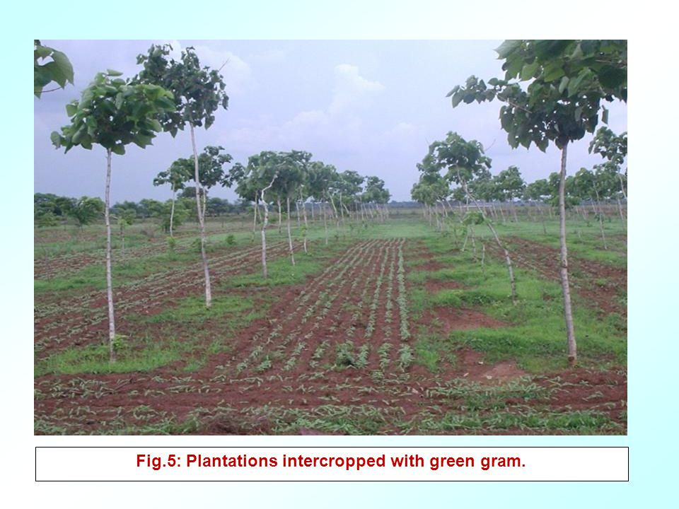 Fig.5: Plantations intercropped with green gram.