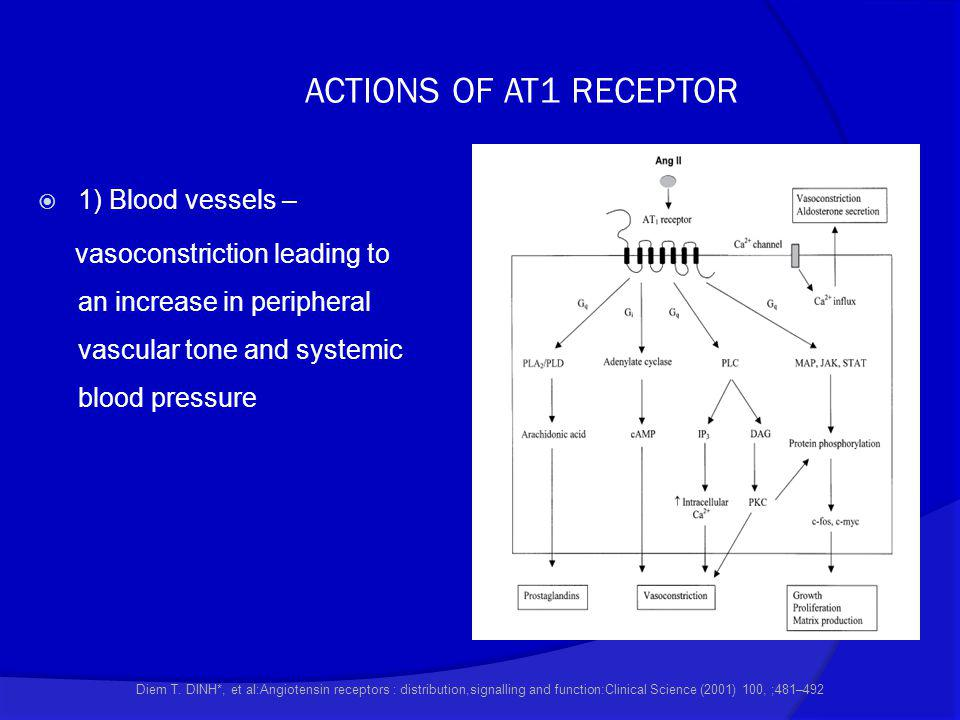 ACTIONS OF AT1 RECEPTOR  1) Blood vessels – vasoconstriction leading to an increase in peripheral vascular tone and systemic blood pressure Diem T. D