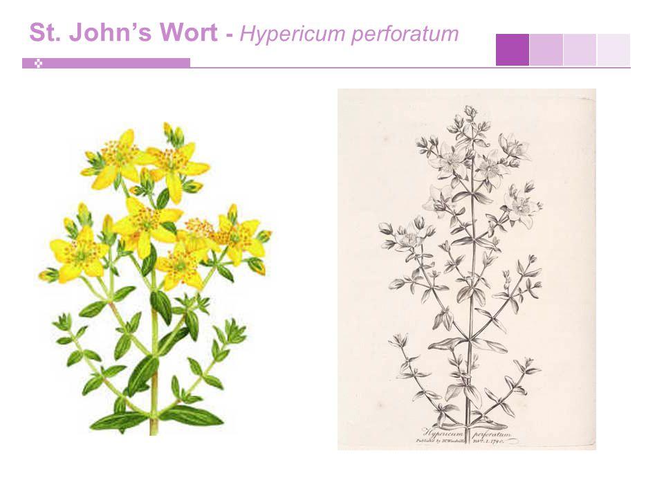St. John's Wort - Hypericum perforatum