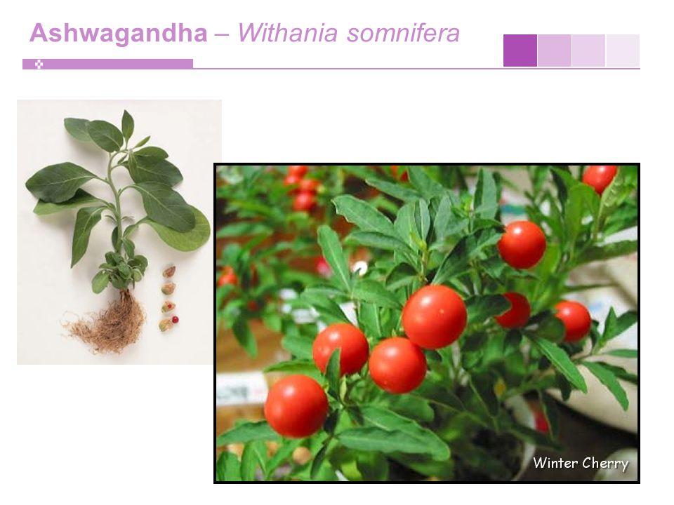 Ashwagandha – Withania somnifera