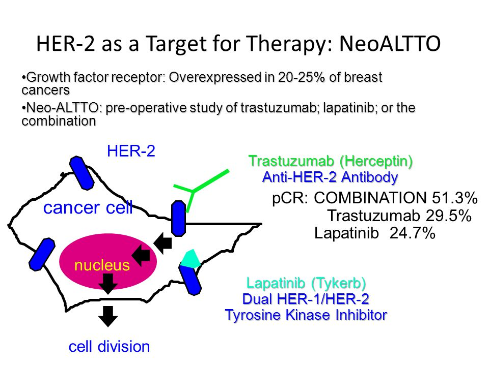 HER-2 as a Target for Therapy: NeoALTTO HER-2 nucleus cancer cell cell division Trastuzumab (Herceptin) Anti-HER-2 Antibody Lapatinib (Tykerb) Dual HER-1/HER-2 Tyrosine Kinase Inhibitor Growth factor receptor: Overexpressed in 20-25% of breast cancersGrowth factor receptor: Overexpressed in 20-25% of breast cancers Neo-ALTTO: pre-operative study of trastuzumab; lapatinib; or the combinationNeo-ALTTO: pre-operative study of trastuzumab; lapatinib; or the combination pCR: COMBINATION 51.3% Trastuzumab 29.5% Lapatinib 24.7%