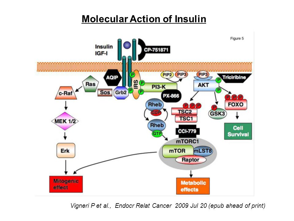 Molecular Action of Insulin Adapted from Vigneri P et al., Endocr Relat Cancer 2009 Jul 20 (epub ahead of print)