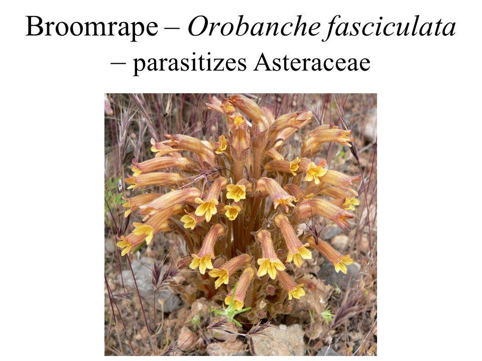 Broomrape – Orobanche fasciculata – parasitizes Asteraceae
