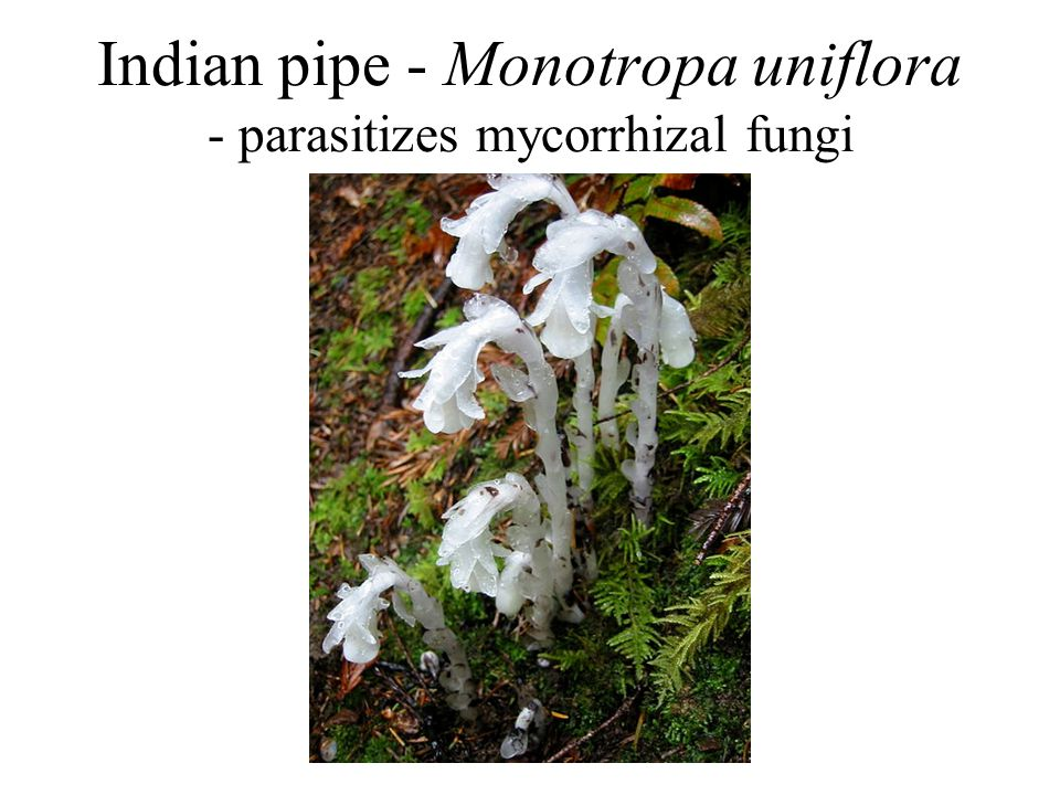 Indian pipe - Monotropa uniflora - parasitizes mycorrhizal fungi