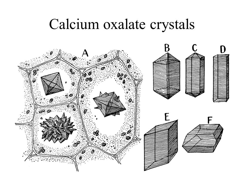 Calcium oxalate crystals