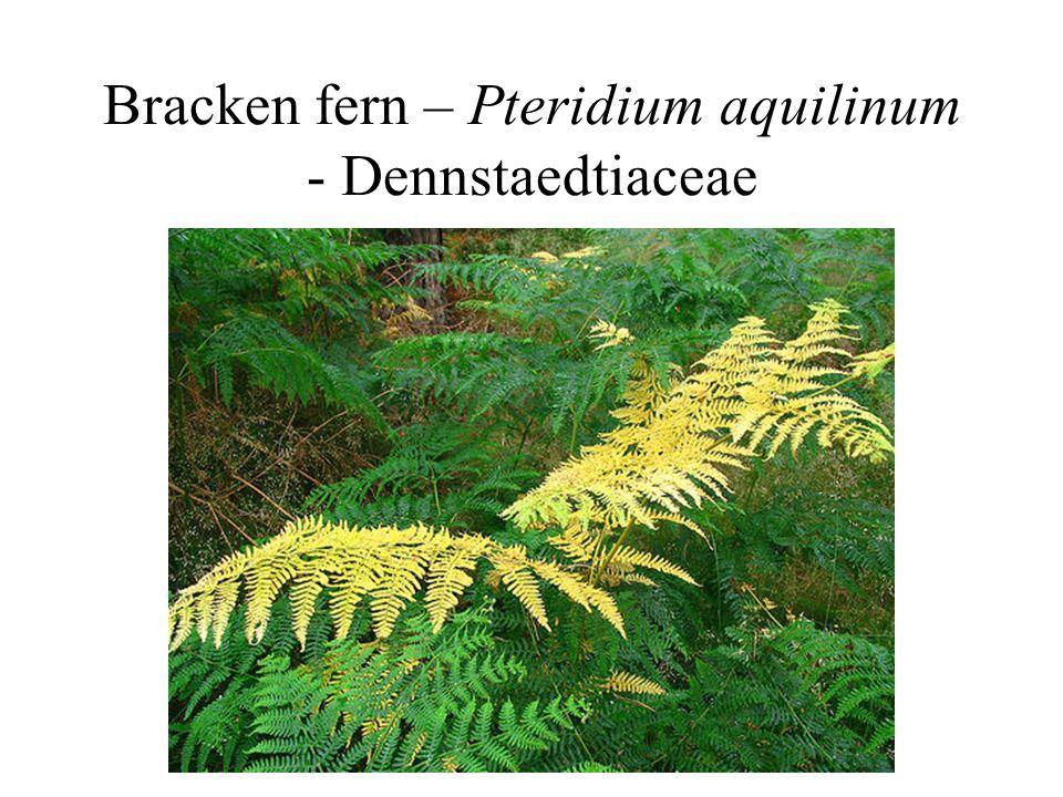 Bracken fern – Pteridium aquilinum - Dennstaedtiaceae