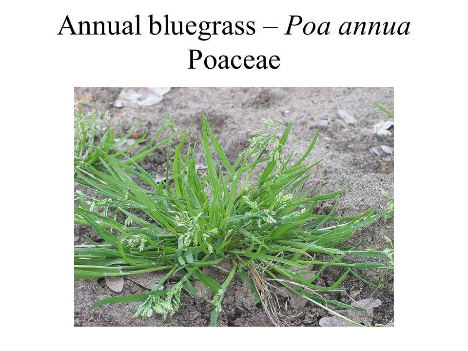Annual bluegrass – Poa annua Poaceae