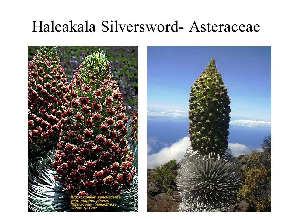 Haleakala Silversword- Asteraceae