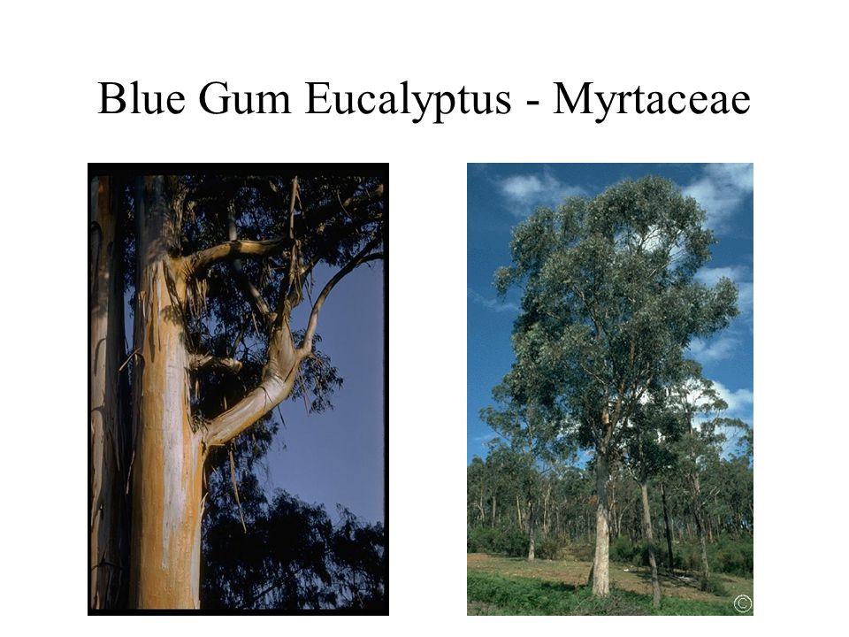 Blue Gum Eucalyptus - Myrtaceae