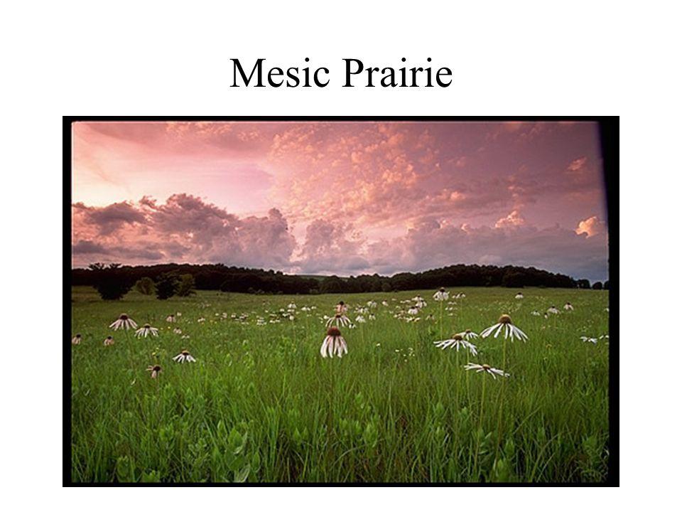 Mesic Prairie