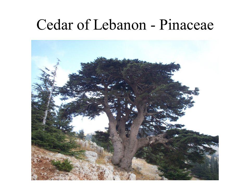 Cedar of Lebanon - Pinaceae