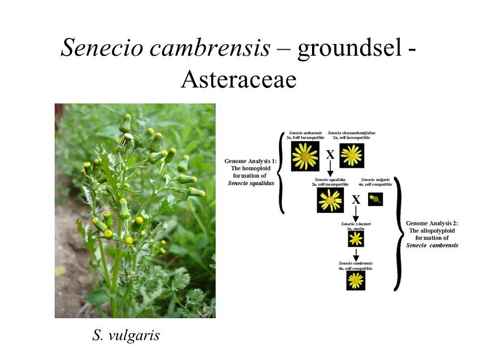 Senecio cambrensis – groundsel - Asteraceae S. vulgaris