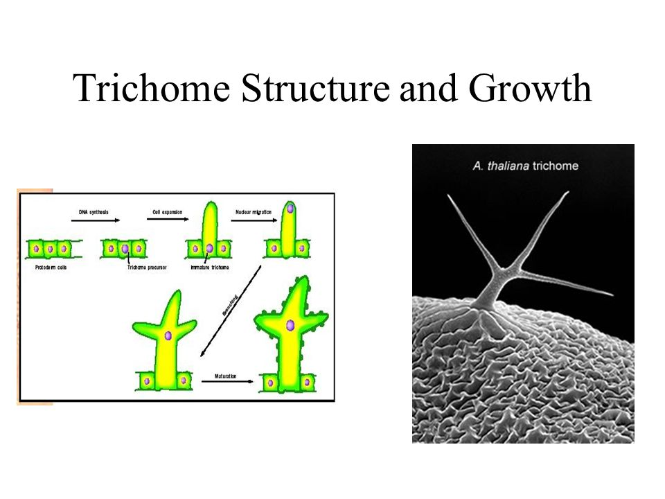 Trichome Structure and Growth