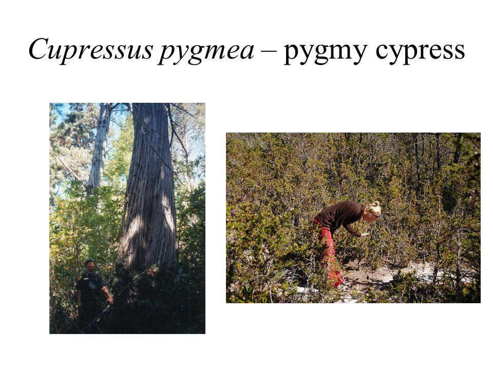 Cupressus pygmea – pygmy cypress