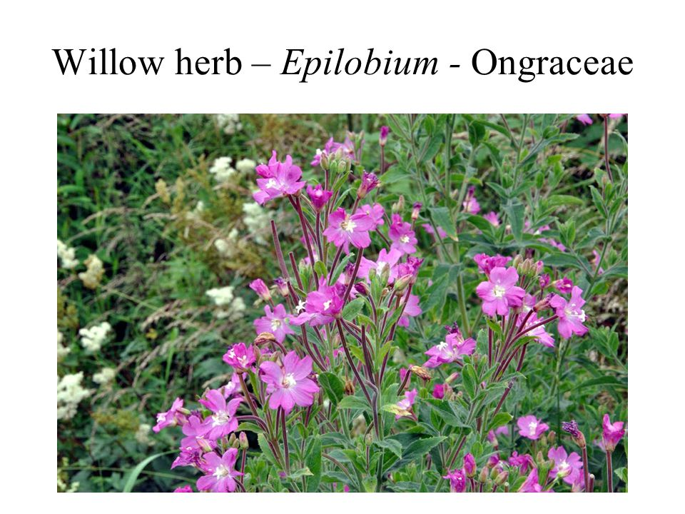 Willow herb – Epilobium - Ongraceae
