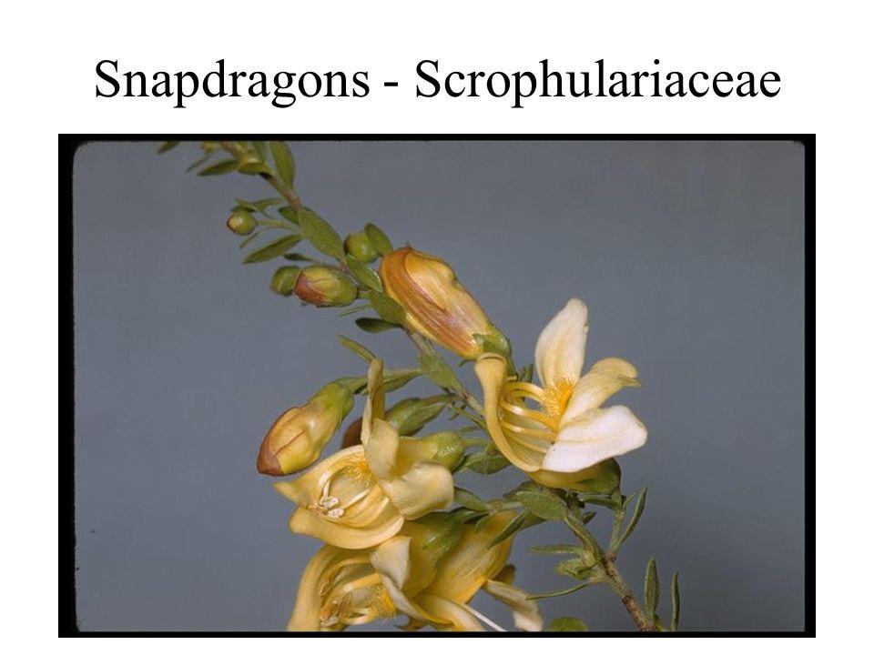 Snapdragons - Scrophulariaceae