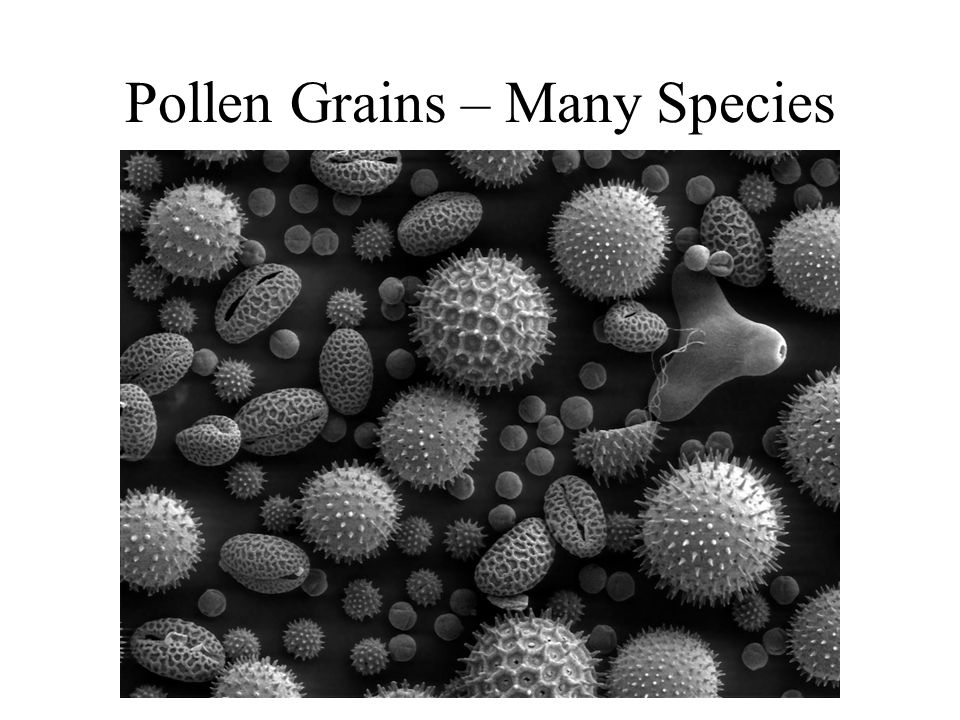 Pollen Grains – Many Species