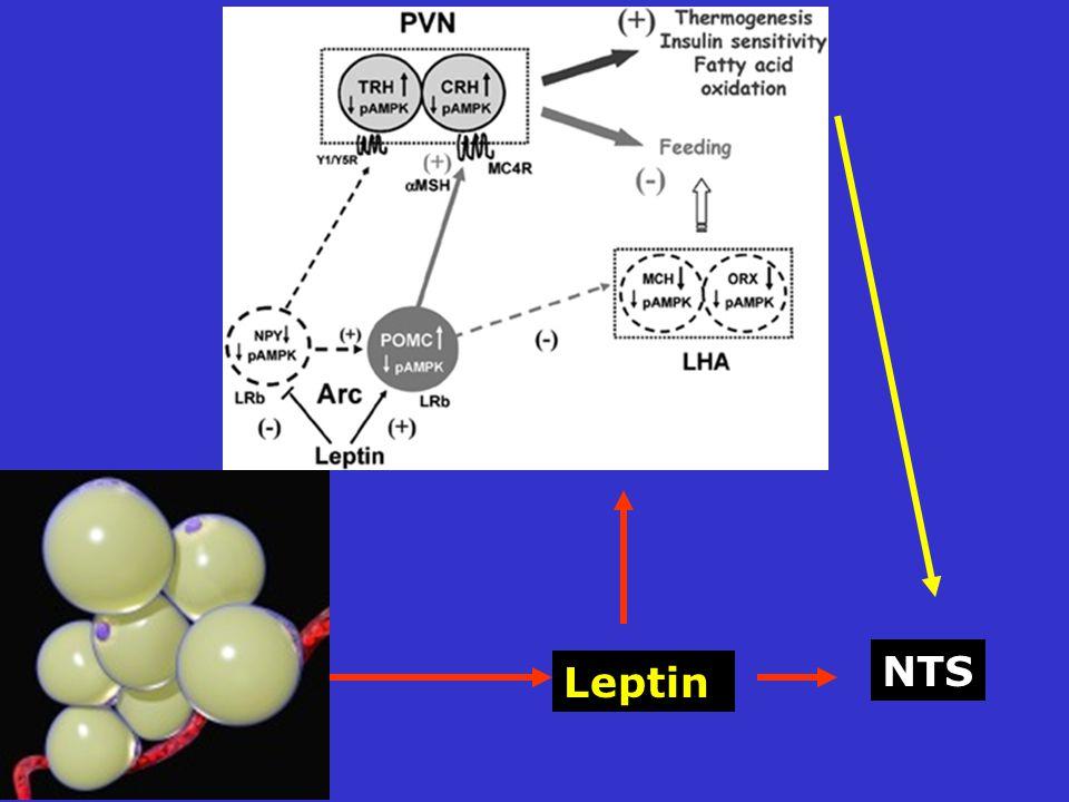 Leptin NTS