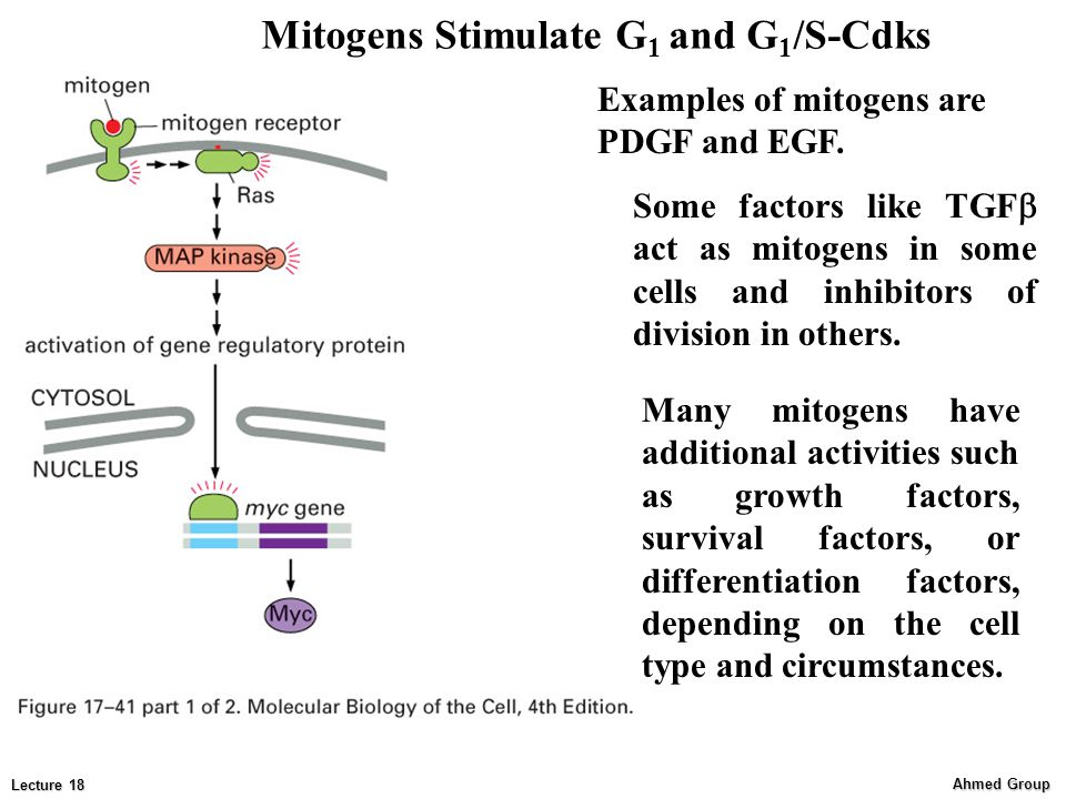 Ahmed Group Lecture 18 Mitogens Stimulate G 1 and G 1 /S-Cdks Examples of mitogens are PDGF and EGF.