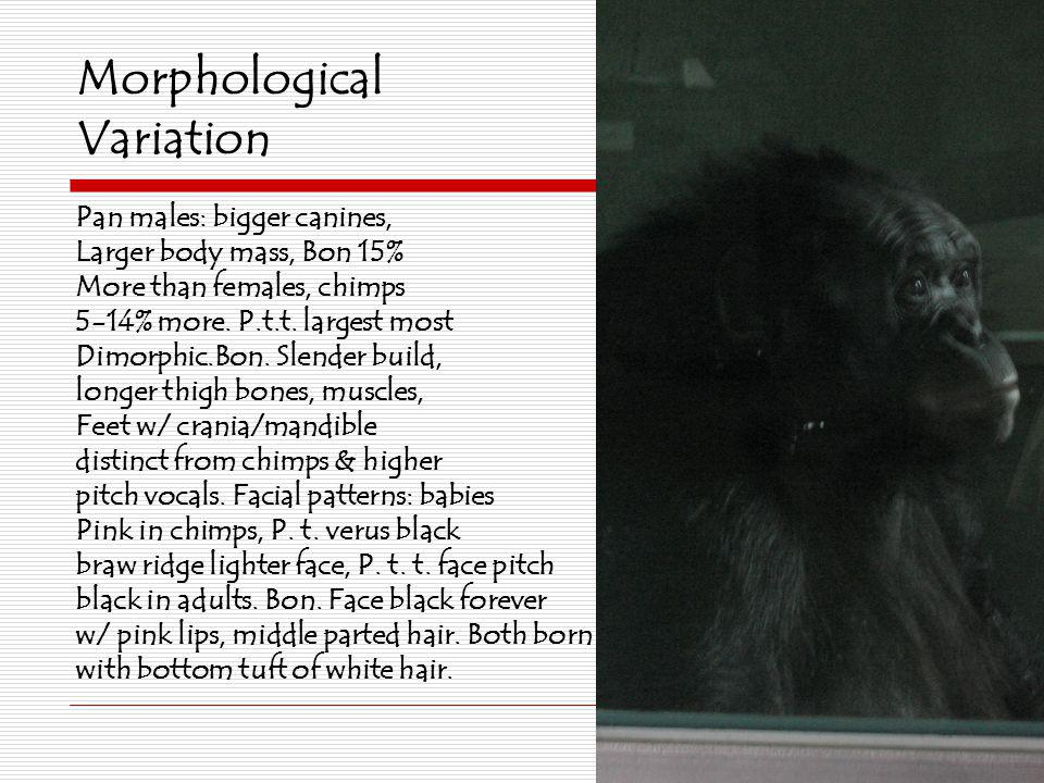 Morphological Variation Pan males: bigger canines, Larger body mass, Bon 15% More than females, chimps 5-14% more. P.t.t. largest most Dimorphic.Bon.