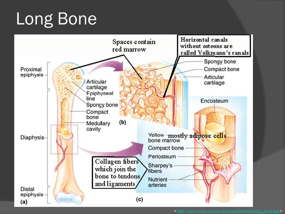 Long Bone http://www.como.wa.edu.au/uploads/media/long_bone.jpg