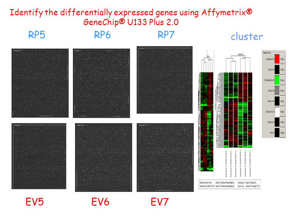 EV5 RP5 RP7 RP6 EV6 EV7 cluster Identify the differentially expressed genes using Affymetrix® GeneChip® U133 Plus 2.0