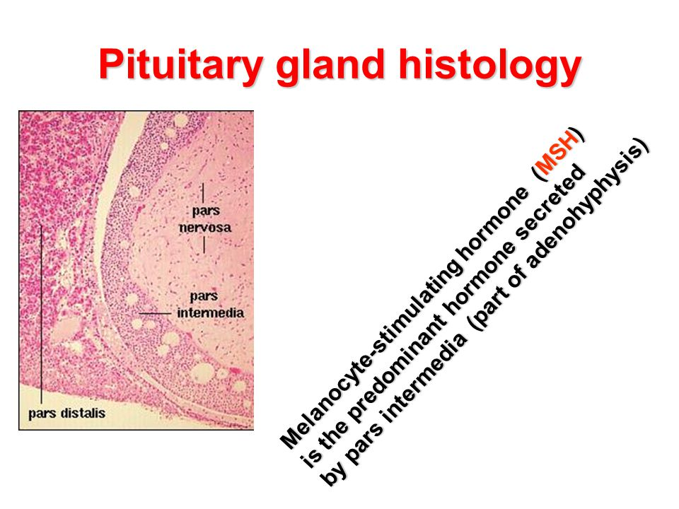 Pituitary gland histology Melanocyte-stimulating hormone (MSH) is the predominant hormone secreted by pars intermedia (part of adenohyphysis)