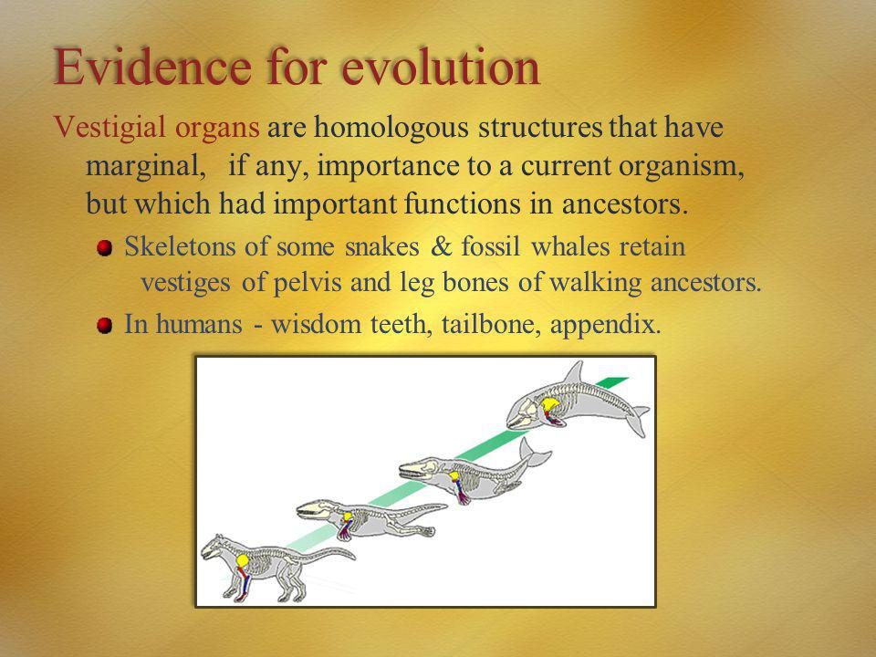 Evidence for evolution Vestigial organs are homologous structures that have marginal, if any, importance to a current organism, but which had importan