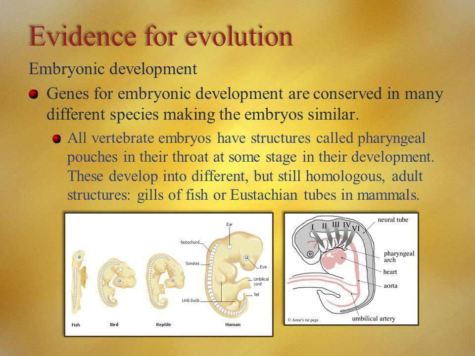 Evidence for evolution Embryonic development Genes for embryonic development are conserved in many different species making the embryos similar. All v