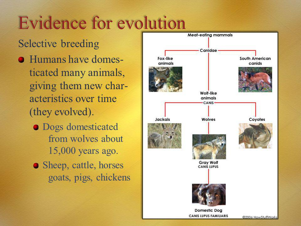 Evidence for evolution Selective breeding Humans have domes- ticated many animals, giving them new char- acteristics over time (they evolved). Dogs do