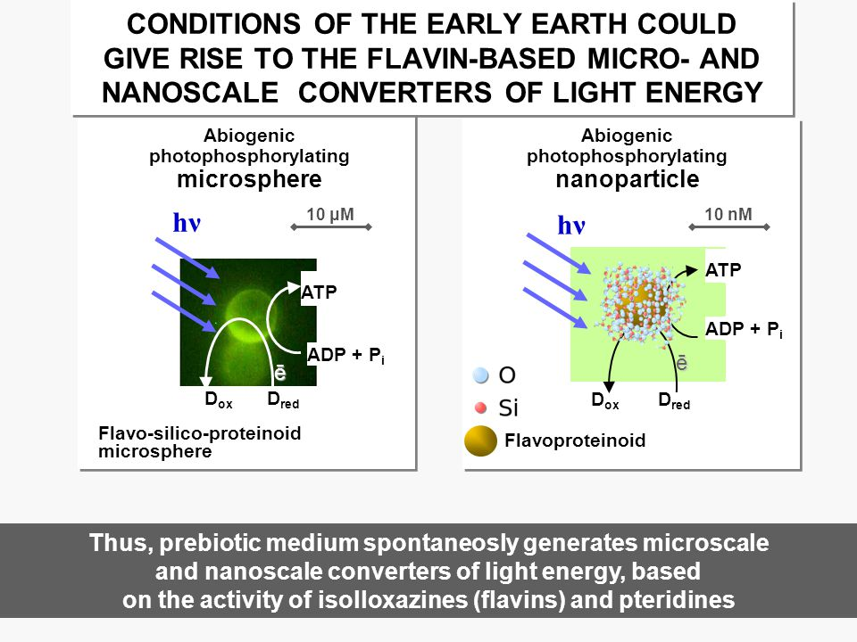 Abiogenic photophosphorylating nanoparticle Flavoproteinoid ATP ADP + P i D red D ox ē hνhν Abiogenic photophosphorylating microsphere Thus, prebiotic medium spontaneosly generates microscale and nanoscale converters of light energy, based on the activity of isolloxazines (flavins) and pteridines Flavo-silico-proteinoid microsphere ATP ADP + P i D red D ox ē hνhν 10 μM10 nM CONDITIONS OF THE EARLY EARTH COULD GIVE RISE TO THE FLAVIN-BASED MICRO- AND NANOSCALE CONVERTERS OF LIGHT ENERGY