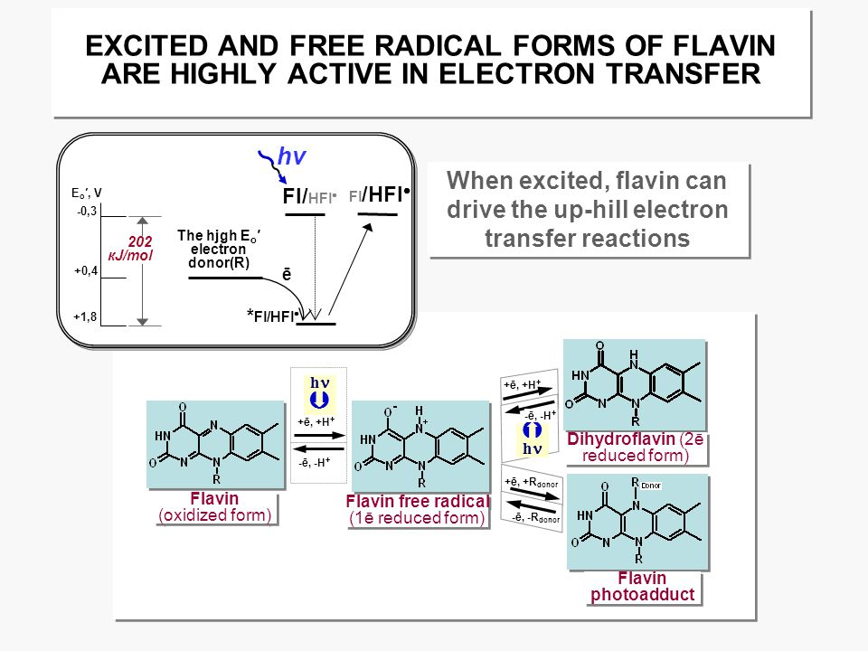 EXCITED AND FREE RADICAL FORMS OF FLAVIN ARE HIGHLY ACTIVE IN ELECTRON TRANSFER Flavin (oxidized form) Flavin (oxidized form) Flavin free radical (1ē reduced form) Flavin free radical (1ē reduced form) Dihydroflavin (2ē reduced form) Flavin photoadduct +ē, +H + h  -ē, -H + +ē, +H +  h -ē, -H + +ē, +R donor -ē, -R donor 202 кJ/mol -0,3 +0,4 +1,8 E o ′, V Fl/ HFl  * Fl/HFl  The hjgh E o ′ electron donor(R) ē Fl /HFl  hνhν When excited, flavin can drive the up-hill electron transfer reactions When excited, flavin can drive the up-hill electron transfer reactions