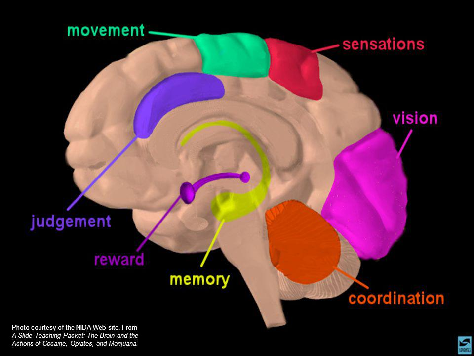 Photo courtesy of the NIDA Web site. From A Slide Teaching Packet: The Brain and the Actions of Cocaine, Opiates, and Marijuana.