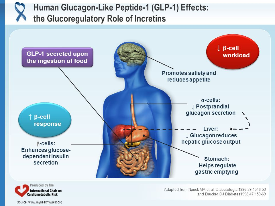 Source: www.myhealthywaist.org Human Glucagon-Like Peptide-1 (GLP-1) Effects: the Glucoregulatory Role of Incretins Adapted from Nauck MA et al.