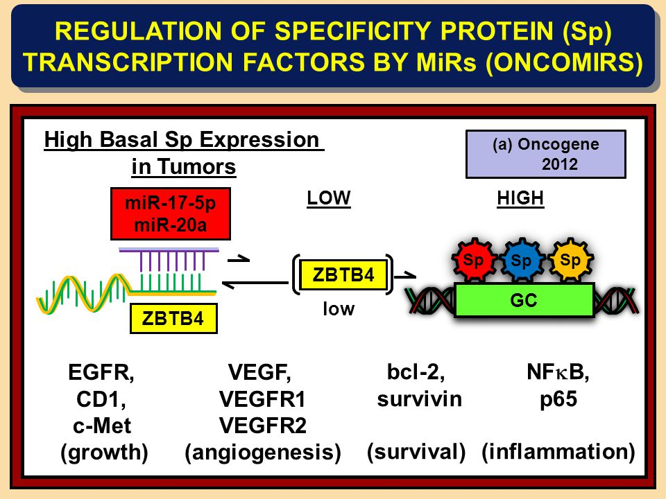 High Basal Sp Expression in Tumors miR-27a ZBTB10 LOW ZBTB10 low HIGH GC EGFR, CD1, c-Met (growth) bcl-2, survivin (survival) VEGF, VEGFR1 VEGFR2 (angiogenesis) NF  B, p65 (inflammation) REGULATION OF SPECIFICITY PROTEIN (Sp) TRANSCRIPTION FACTORS BY MiRs (ONCOMIRS) (a)Cancer Res.